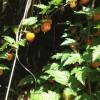 【里帰り日記】娘と木苺を摘みに。